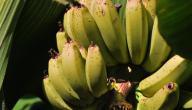 ما هو لحاء الموز