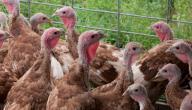 كيفية تربية دجاج اللحم