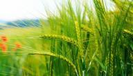 فوائد جنين القمح للهالات السوداء