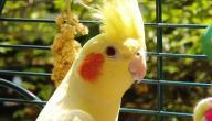 كيفية تربية عصافير الاسترالى
