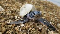 كم يستغرق بيض السلحفاة حتى يفقس