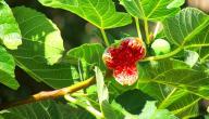 فوائد أوراق شجرة التين