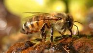 معلومات عن فوائد النحل