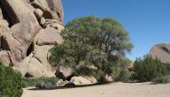 ما هي شجرة البلوط