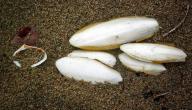 فوائد لسان البحر للجسم