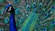 صفات طائر الطاووس
