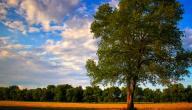 فوائد شجرة المرخ