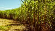 ما هي فوائد سكر النبات