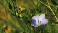 ما هي فوائد بذر الكتان
