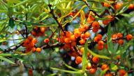 فوائد فاكهة السدرة