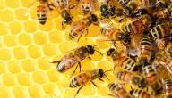 طريقة جذب النحل إلى الخلية