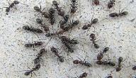 ظهور نمل في البيت