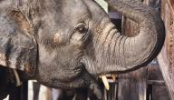 ما هو عدد أسنان الفيل
