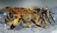 من عجائب خلق الله في النحل
