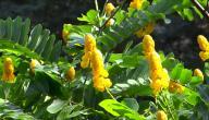 فوائد عشبة السنامكي وطريقة استخدامها