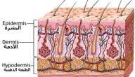 ماذا نسمي الطبقة الداخلية من الجلد