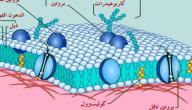مم يتكون غشاء الخلية