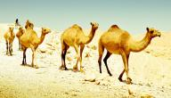 كيفية تكيف الجمل في الصحراء