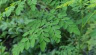 ما هي فوائد نبات المورينجا