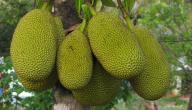 ما هي أكبر فاكهة في العالم