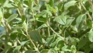 فائدة نبات البردقوش
