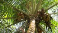 كيفية زراعة شجرة جوز الهند