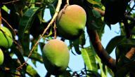 كيفية زراعة شجرة المانجا