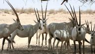 صفات حيوان المها العربي