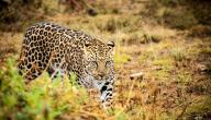 صفات حيوان الفهد