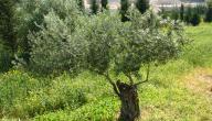 ما خصائص شجرة الزيتون