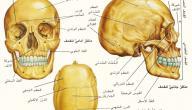 بماذا تتميز عظام الجمجمه