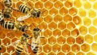 لماذا يصنع النحل العسل