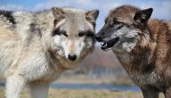 ما اسم أنثى الذئب