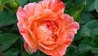 أجمل أنواع الورد الجوري