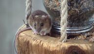 أسهل طريقة للقضاء على الفئران