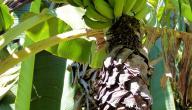 كيف يزرع الموز
