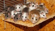 أفضل الطرق للتخلص من الفئران