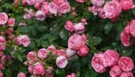 كيف يزرع الورد الجوري