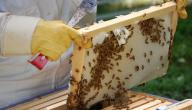 كيف يربى النحل