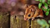 أفضل طرق مكافحة الفئران