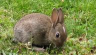 ما اسم أنثى الأرنب