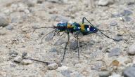 أسرع حشرة على الأرض