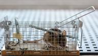 الطريقة المثلى للقضاء على الفئران