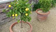 كيفية زراعة شجرة الليمون