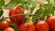 كيف نزرع الطماطم من البذور