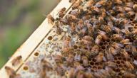 كيف يعيش مجتمع النحل