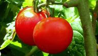 لماذا تعتبر الطماطم من الفواكه