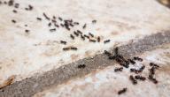 كيفية التخلص من النمل من البيت