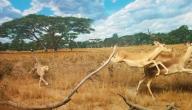 أسرع الحيوانات بالترتيب