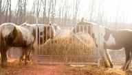 حكم أكل لحم الحصان